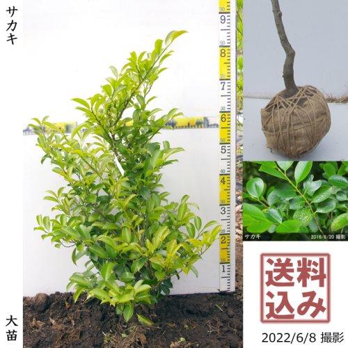 【予約商品】大苗◇常緑樹 サカキ(榊)[地掘苗:SS]