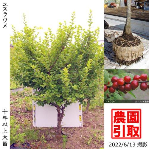 ユスラウメ(山桜桃)[地掘苗 2013年:特大]〜実付実績