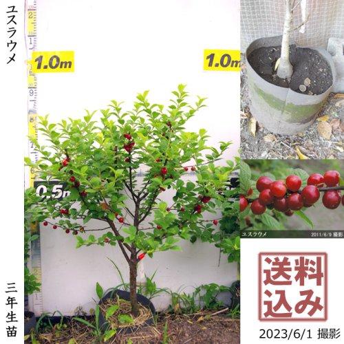 ユスラウメ(山桜桃)[地掘苗 2014年:特大]〜実付実績◆ワケあり