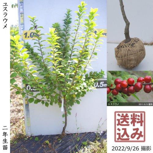 【予約商品】2年生苗◇ユスラウメ(山桜桃)[地掘苗 2020年:M]