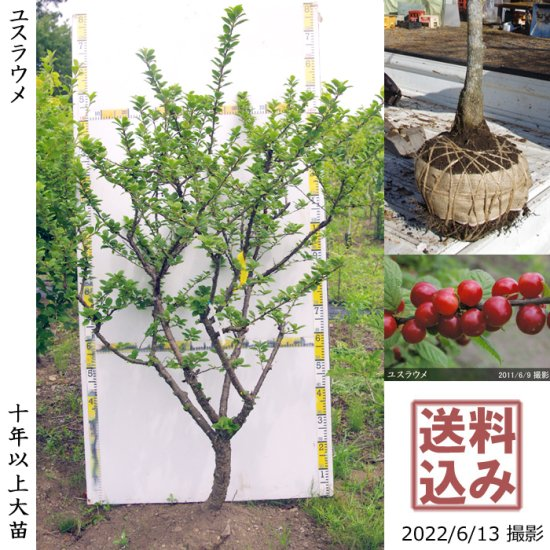 大苗◇ユスラウメ(山桜桃)[地掘苗 2014年:大]~実付実績◆ワケあり