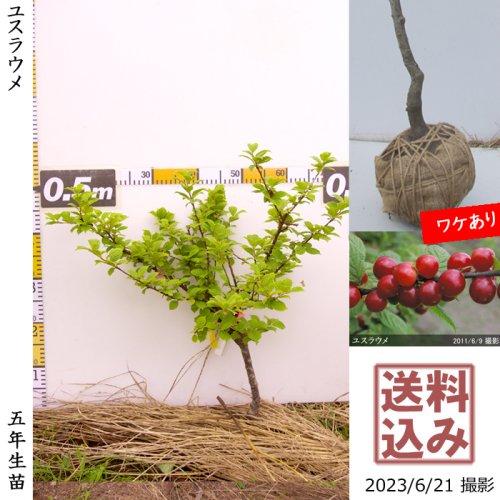 大苗◇ユスラウメ(山桜桃)[地掘苗 2018年:M]〜実付実績◆根回し済◆