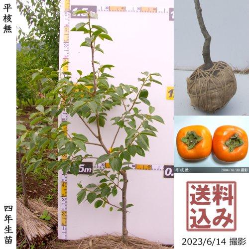 ユスラウメ(山桜桃)[地掘苗 2016年:中]〜実付実績◆ワケあり
