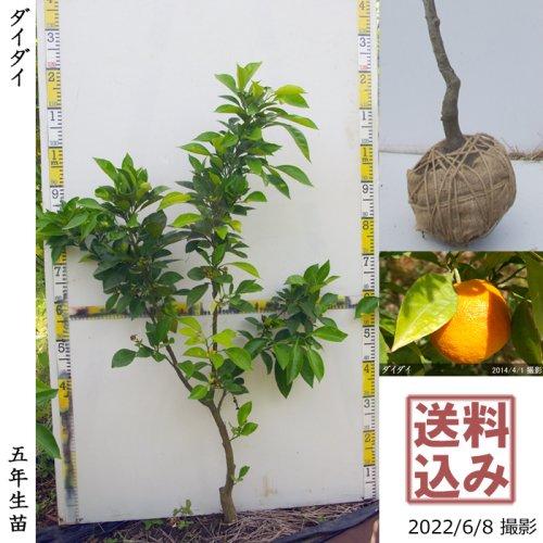 3年生苗◇柑橘類 ダイダイ(橙)[地掘苗 2018年:M]