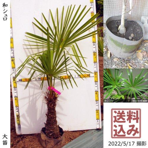 大苗◇常緑樹 和シュロ[24cmポット苗:L]