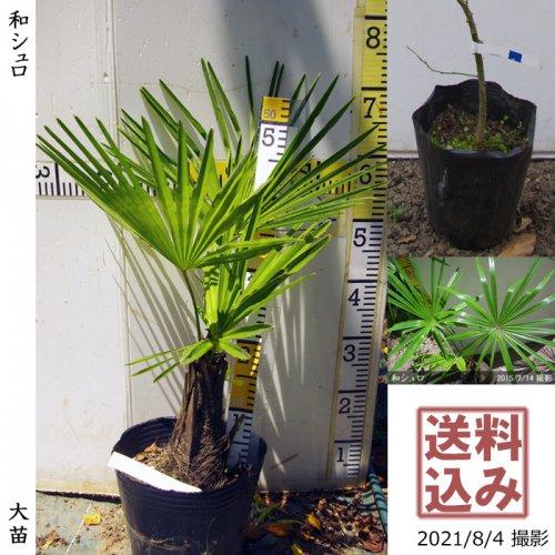 大苗◇常緑樹 和シュロ[21cmポット苗:M]