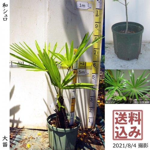 大苗◇常緑樹 和シュロ[24cmスリットポット苗:M]