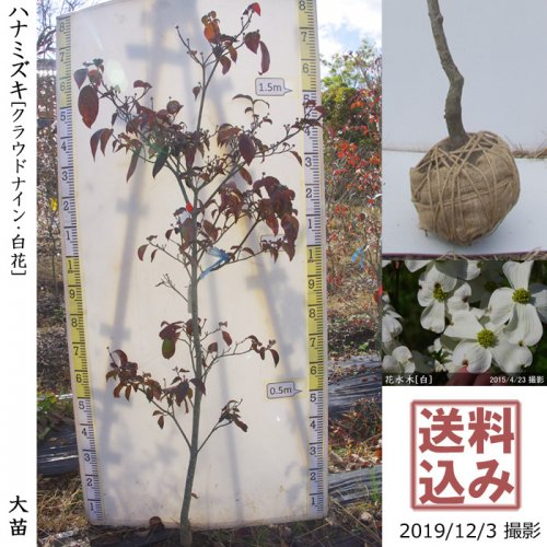 大苗◇落葉樹 ハナミズキ(花水木) クラウドナイン《白花》[地堀苗:L]