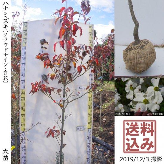 大苗◇落葉樹 ハナミズキ(花水木) 《白花》[地堀苗:中]◆ワケあり