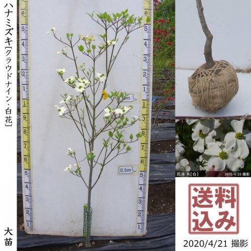 大苗◇落葉樹 ハナミズキ(花水木) クラウドナイン《白花》[地堀苗:M]