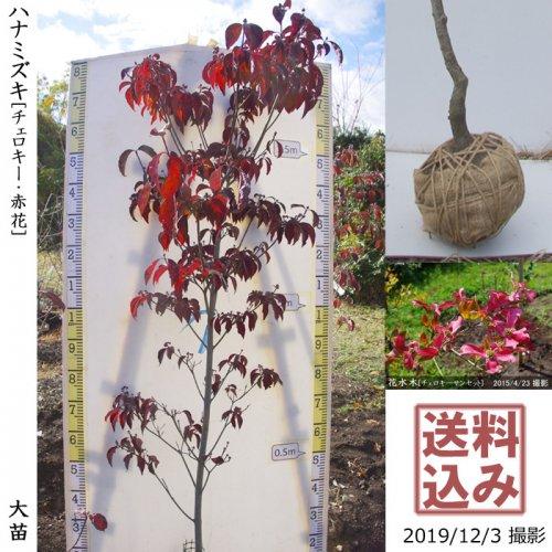 大苗◇落葉樹 ハナミズキ(花水木) チェロキー《赤花》[地堀苗:L]