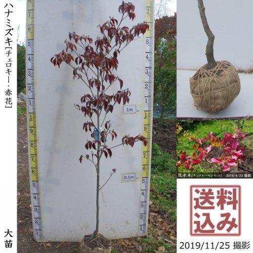 大苗◇落葉樹 ハナミズキ(花水木) チェロキー《赤花》[地堀苗:M]