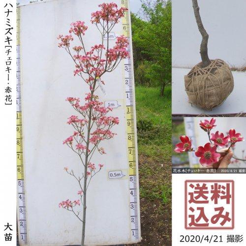 大苗◇落葉樹 ハナミズキ(花水木) チェロキー《赤花》[地堀苗:M]◆ワケあり