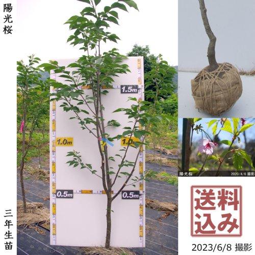 【予約商品】3年生苗◇サクラ(桜)陽光(ヨウコウ)[地掘苗 2019年:L]