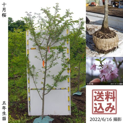 大苗◇サクラ(桜)十月桜(ジュウガツザクラ)[地掘苗 2018年:LL(樹高high)]*農園引取のみ