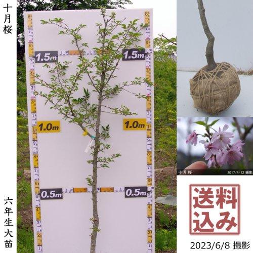 【予約商品】大苗◇サクラ(桜)十月桜(ジュウガツザクラ)[地掘苗 2018年:3L]*大型便
