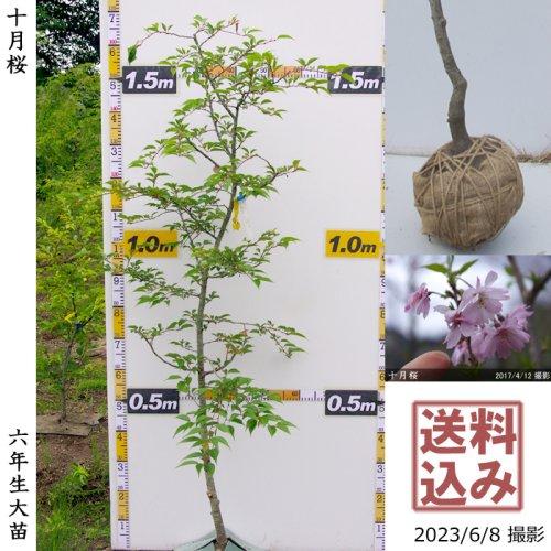 【予約商品】大苗◇サクラ(桜)十月桜(ジュウガツザクラ)[地掘苗 2018年:L]*大型便◆一点もの◆