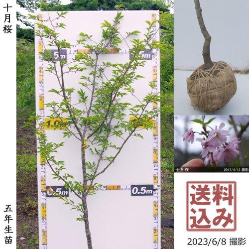 大苗◇サクラ(桜)十月桜(ジュウガツザクラ)[地掘苗 2018年:M]◆根回し済◆