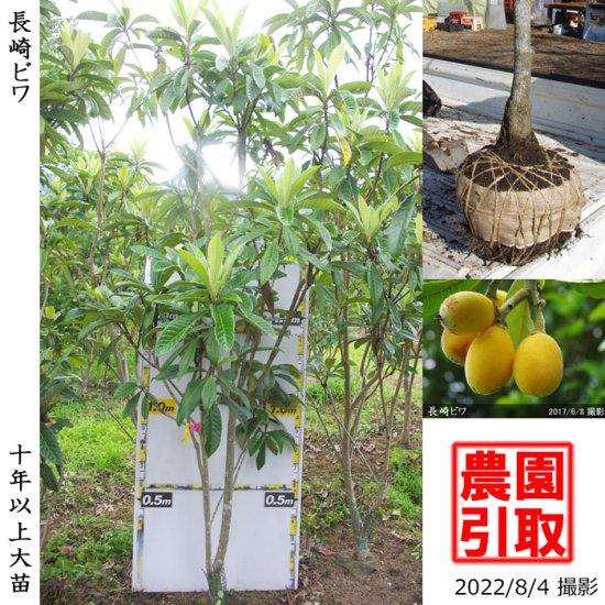 大苗◇サクラ(桜)染井吉野(ソメイヨシノ)[地掘苗 2013年:小]◆ワケあり