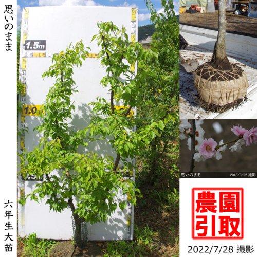 ジューンベリー 品種不明(実大)[地掘苗 2012年:3L]【C】〜実付実績〜*農園引取のみ