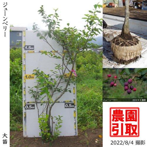 ジューンベリー 品種不明(実大)[地掘苗 2012年:特大]〜実付実績〜*農園引取のみ