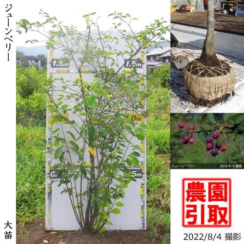 ジューンベリー 品種不明(実大)[地掘苗 2012年:大]〜実付実績〜