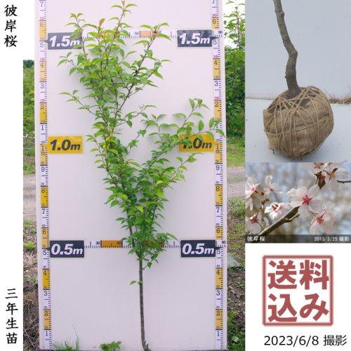 【予約商品】2年生苗◇サクラ(桜)彼岸桜(ヒガンザクラ)[地掘苗 2020年:M]