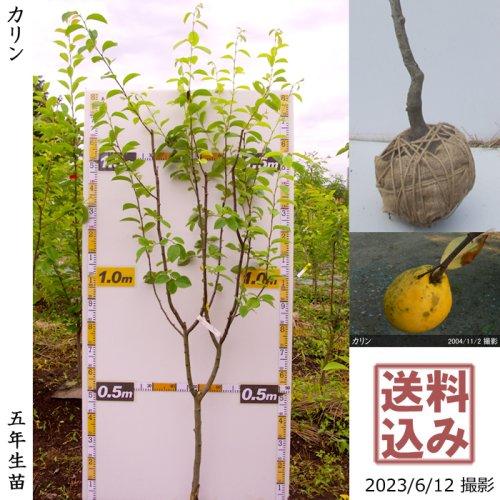 ジューンベリー 品種不明(実大)[地掘苗 2012年:中]〜実付実績〜