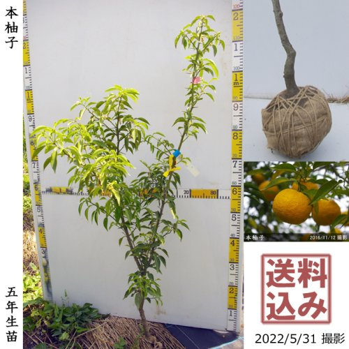 3年生苗◇柑橘類 本柚子(ほんゆず)[地掘苗 2018年:M]