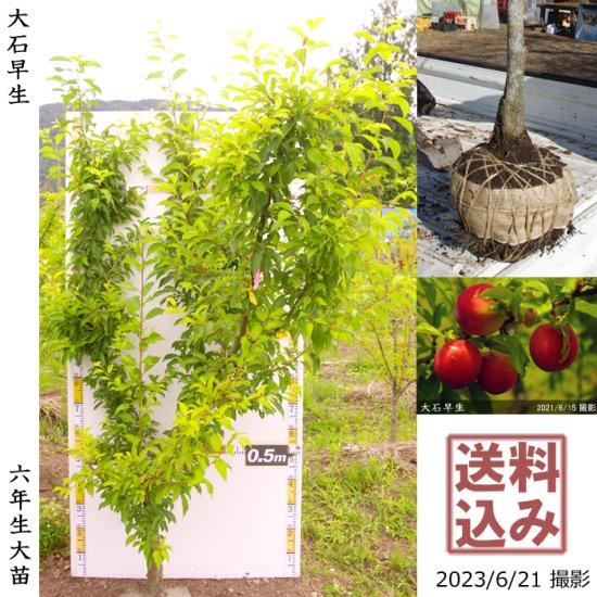 ◆新入荷◆大苗◇常緑樹 ビワ(枇杷) 田中びわ[地堀苗2016年 玉付入荷:中]