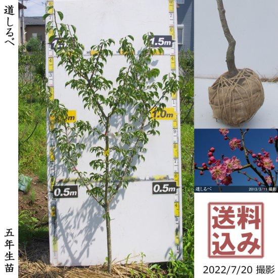 ◆新入荷◆大苗◇サクラ(桜)十月桜(ジュウガツザクラ)[地堀苗 2016年 玉付入荷:中]【D】