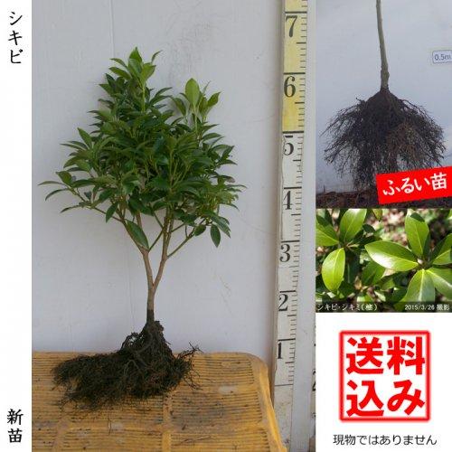 新苗◇常緑樹 シキビ・シキミ(樒) 仏花[ふるい苗:特等]*送料込
