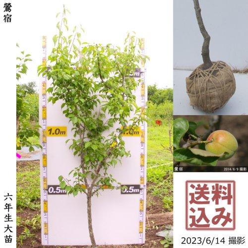 大苗◇ウメ(実梅)鶯宿(おうしゅく)[地掘苗 2018年:L]