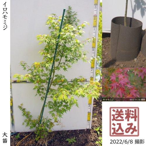 【予約商品】大苗◇モミジ(紅葉) ヤマモミジ[実生・18cm地中ポット苗:SS]