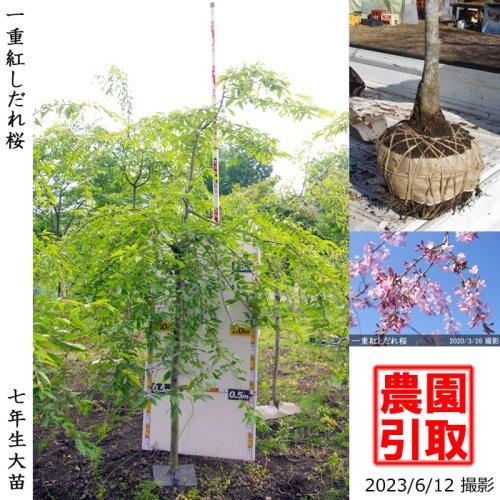 サクラ(桜) 一重紅しだれ桜[地掘苗 2016年:中]