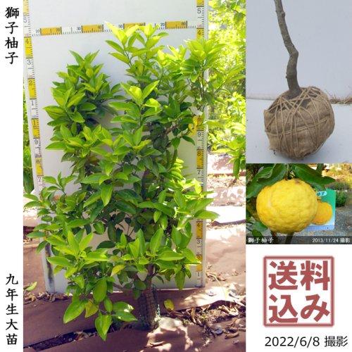 大苗◇柑橘類 獅子柚子(ししゆず・おにゆ)[地掘苗 2015年:L]