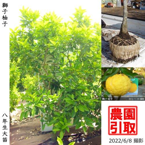 大苗◇柑橘類 獅子柚子(ししゆず・おにゆ)[地掘苗 2015年:LL]*農園引取のみ