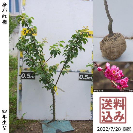 大苗◇サクラ(桜)山桜(ヤマザクラ)[地掘苗:3L(樹高high)]【B】*農園引取のみ◆ワケあり