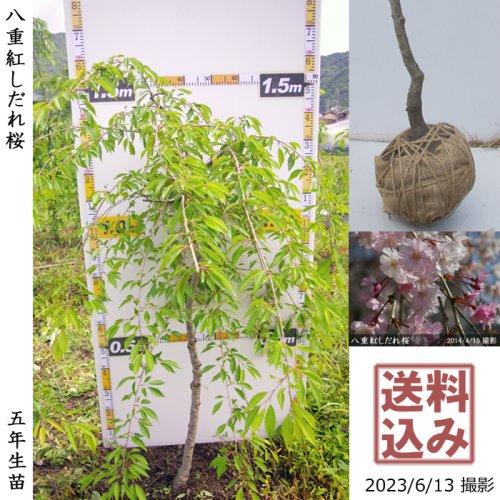 サクラ(桜)染井吉野(ソメイヨシノ)[地掘苗 2016年:中]