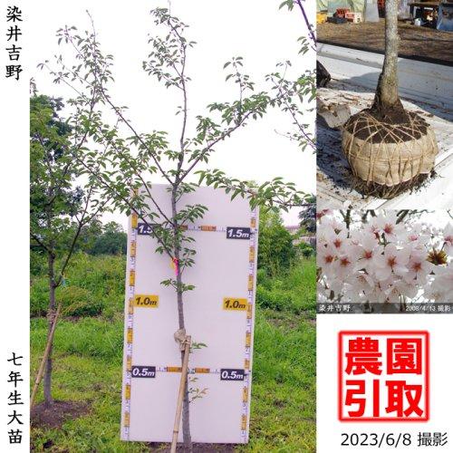 大苗◇サクラ(桜)染井吉野(ソメイヨシノ)[地掘苗 2017年:3L(樹高high)]*農園引取のみ