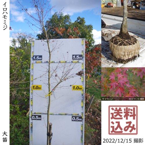 【予約商品】大苗◇モミジ(紅葉) ヤマモミジ(イロハモミジ)[実生・地掘苗:S]