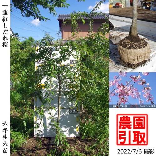 サクラ(桜) 一重紅しだれ桜[地掘苗 2017年:小]