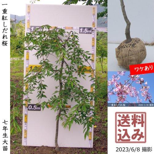 大苗◇サクラ(桜) 一重紅しだれ桜[地掘苗 2017年:L]*農園引取のみ