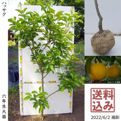 柑橘類 レモン(檸檬) ユーレカ[スリットポット苗 2015年:小]