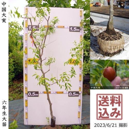 柑橘類 本柚子(ほんゆず)[地堀苗 2016年:大]◆根回し済◆