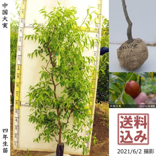 柑橘類 本柚子(ほんゆず)[地堀苗 2016年:中]◆根回し済◆