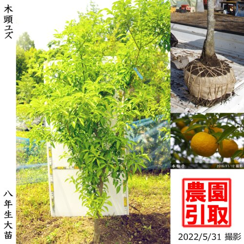 柑橘類 本柚子 木頭ゆず(キトウユズ)[地堀苗 2015年:特大]◆根回し済◆