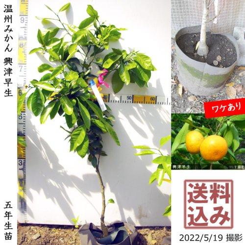 柑橘類 温州みかん宮川早生[地掘苗2016年:小]〜実付実績〜◆根回し済◆