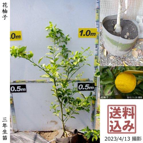 大苗◇柑橘類 夏みかん[スリットポット苗 2017年:S]
