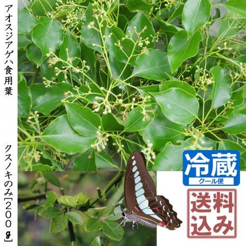 アオスジアゲハ食用葉(食樹)◇楠木(クスノキ)の葉のみ(枝付き)《200g》 [送料・クール便代込価格]